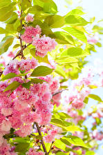 Обои Цветущие деревья Розовый Цветы