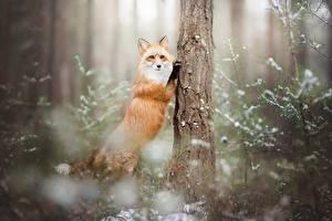 Фото Лисы Ствол дерева