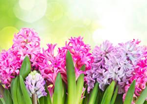 Фото Гиацинты Крупным планом цветок