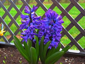 Картинка Гиацинты Вблизи Забор Фиолетовых Цветы