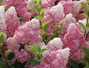Картинки Гортензия Розовые Sundae Fraise цветок