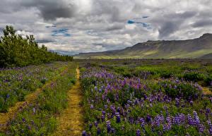 Картинки Исландия Пейзаж Поля Люпин Холмы Облака