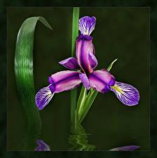 Фотографии Ирисы Рисованные Цветы