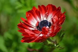 Картинки Макросъёмка Вблизи Ветреница Красный Цветы