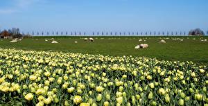 Картинка Нидерланды Поля Луга Домашняя свинья Тюльпаны Стадо Beemster Природа