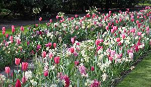 Картинка Нидерланды Парки Тюльпаны Нарциссы Много Keukenhof