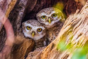 Фотографии Совы Птицы Двое Смотрит Милые Животные
