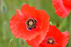 Фотография Мак Макросъёмка Крупным планом Красных цветок