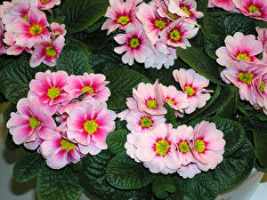 Фотографии Первоцвет Вблизи Розовый