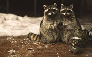 Картинка Еноты Два Миленькие Животные