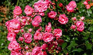 Обои Розы Вблизи Розовый Бутон