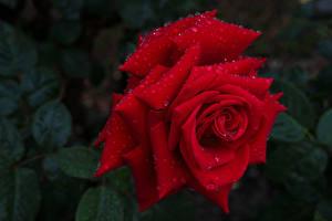 Обои Розы Вблизи Красных Капля Цветы