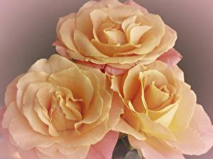 Фото Розы Крупным планом Втроем Цветы