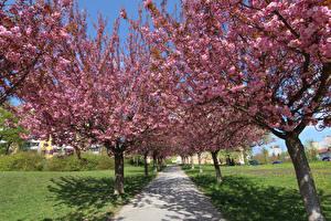 Фото Сезон года Весенние Цветущие деревья Сакура Аллея
