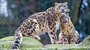 Картинки Ирбис Двое животное