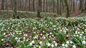 Картинка Весна Леса Подснежники Много Мох Цветы