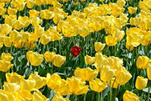 Обои Тюльпаны Много Желтый Цветы картинки