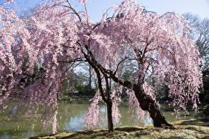 Обои США Парки Весенние Цветущие деревья Пруд Brooklyn Botanical Garden