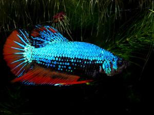 Фото Подводный мир Рыбы Вблизи Betta splendens Животные
