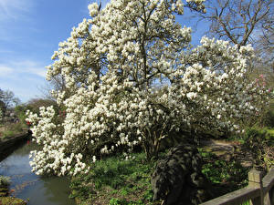 Фото Великобритания Парки Цветущие деревья Магнолия Wisley Gardens Природа
