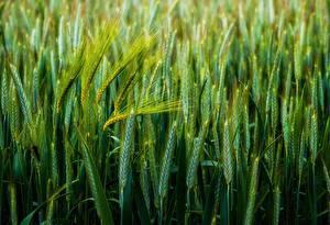 Картинка Пшеница Крупным планом Зеленый Колосок