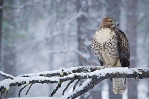 Фотографии Зима Птица Ястреб Ветки Снег Red-tailed hawk Животные