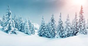 Фотографии Зима Снег Ель Деревья Природа