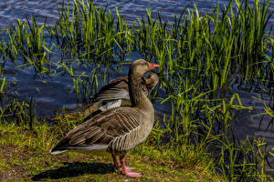 Обои Птицы Утки Вода Животные