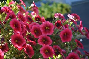 Обои Калибрахоа Вблизи Бордовый Цветы