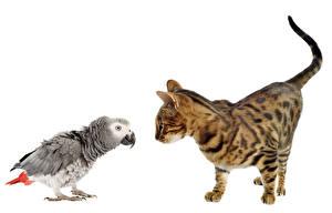 Фото Кошки Птицы Попугаи Белый фон Вдвоем