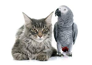 Фото Коты Птицы Попугаи Белый фон 2 Смотрит