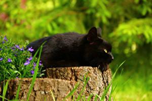 Картинка Кошки Черный Пень Животные