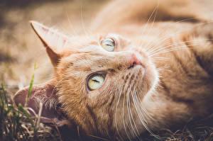 Обои Кошки Крупным планом Смотрят Рыжий Морда Усы Вибриссы животное
