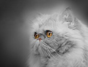 Фото Кошки Крупным планом Персидская кошка Взгляд Пушистый Серый Морда Серый фон Животные