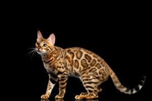 Обои Кошки Бенгальская кошка Черный фон Взгляд Gold Животные
