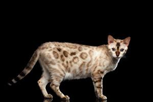 Картинки Коты Бенгальская кошка Черный фон Взгляд White Bengal Животные