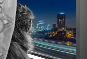 Картинки Кошки Персидская кошка Серый Пушистый Окно Ночь Животные