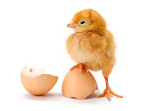 Фотографии Птенец курицы Белый фон Яйца Лапы