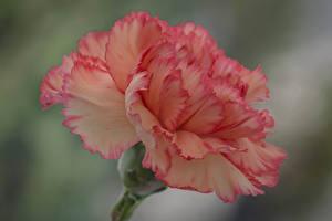 Картинки Крупным планом Гвоздики Цветы