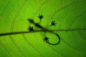 Фотографии Крупным планом Ящерица Листья Силуэт Природа Животные