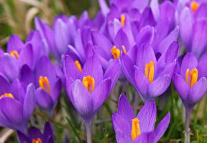 Обои Крокусы Вблизи Фиолетовый Цветы