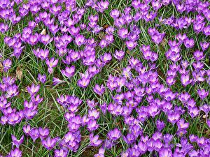 Фото Шафран Много Фиолетовый