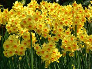 Обои Нарциссы Много Крупным планом Желтых цветок