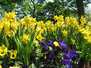 Фото Нарциссы Анютины глазки Желтых цветок