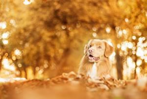 Обои Собаки Осенние Ретривер Животные