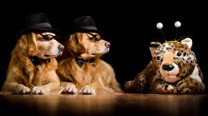 Картинки Собаки Черный фон Ретривер 2 Шляпа Очки Смешные Животные