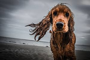 Фото Собаки Взгляд Спаниель Грустный Животные