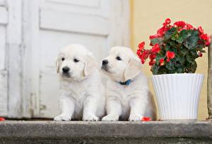Фотографии Собаки Золотистый ретривер Ретривер Щенок Двое Белый Животные