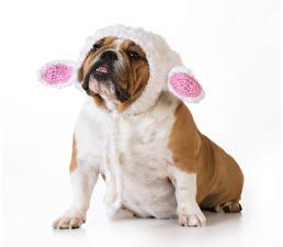 Фотография Собаки Белый фон Бульдог Шапки Смотрит Лапы Забавные