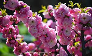 Фотографии Цветущие деревья Вблизи Ветвь Розовый Цветы